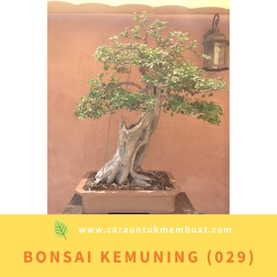 Bonsai Kemuning (029)