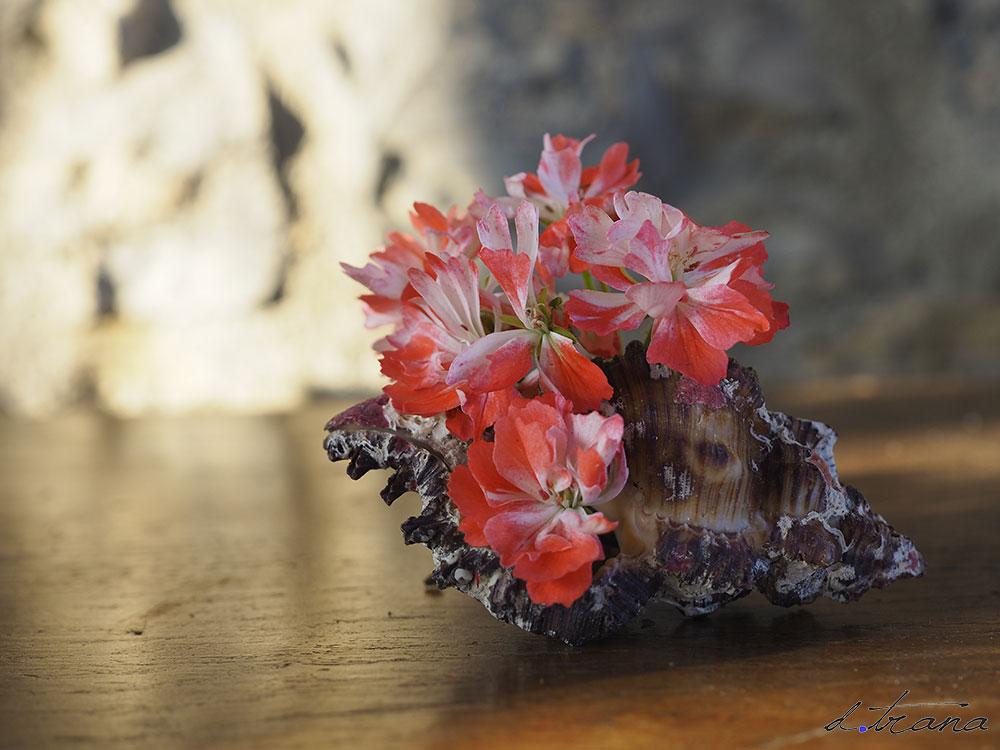 """Composición; caracola antigua con flor de geranio variedad """"Don Chiverto"""""""