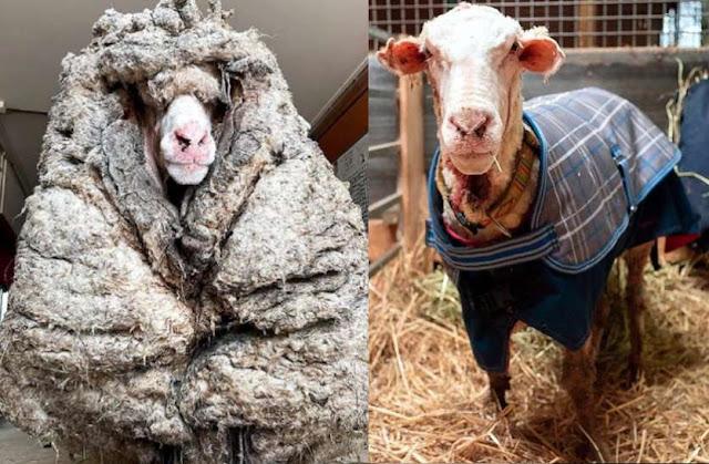 5 साल से जंगल में भटक रही थी भेड़, 35 किलो ऊन निकालकर ऐसे बचाई जान