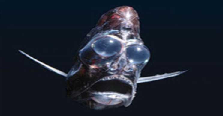 Balta Balığı'nın oldukça büyük gözleri vardır ve son derece hassastır.