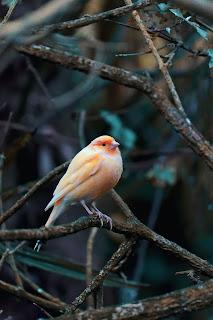 دواء التسيف عند الطيور