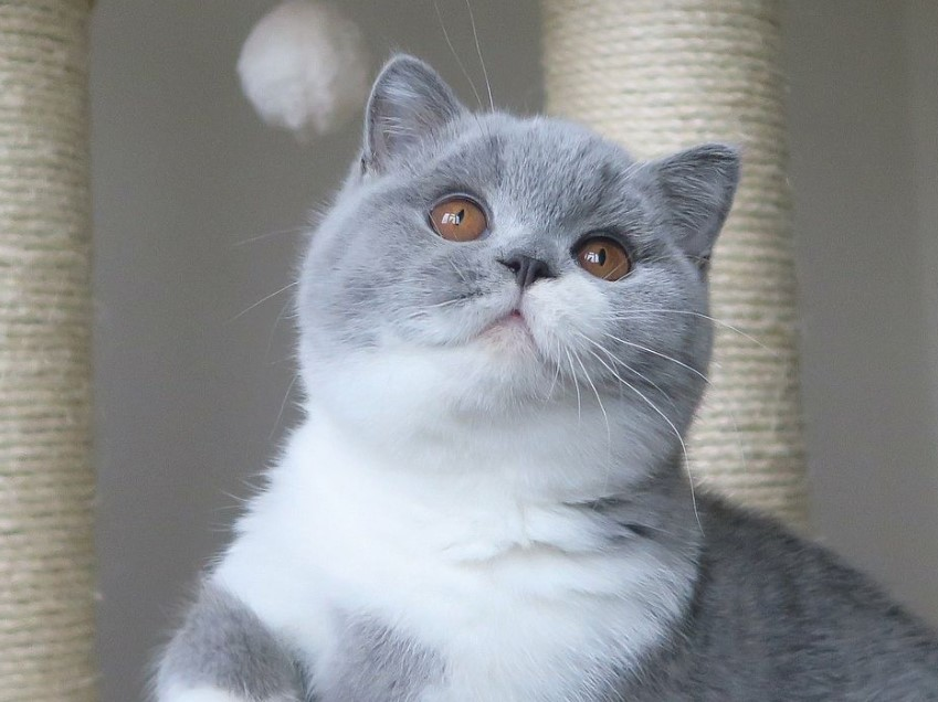 Merawat Kucing British Short Hair Ini Yang Perlu Kamu Pahami Ruberuky The Cat World