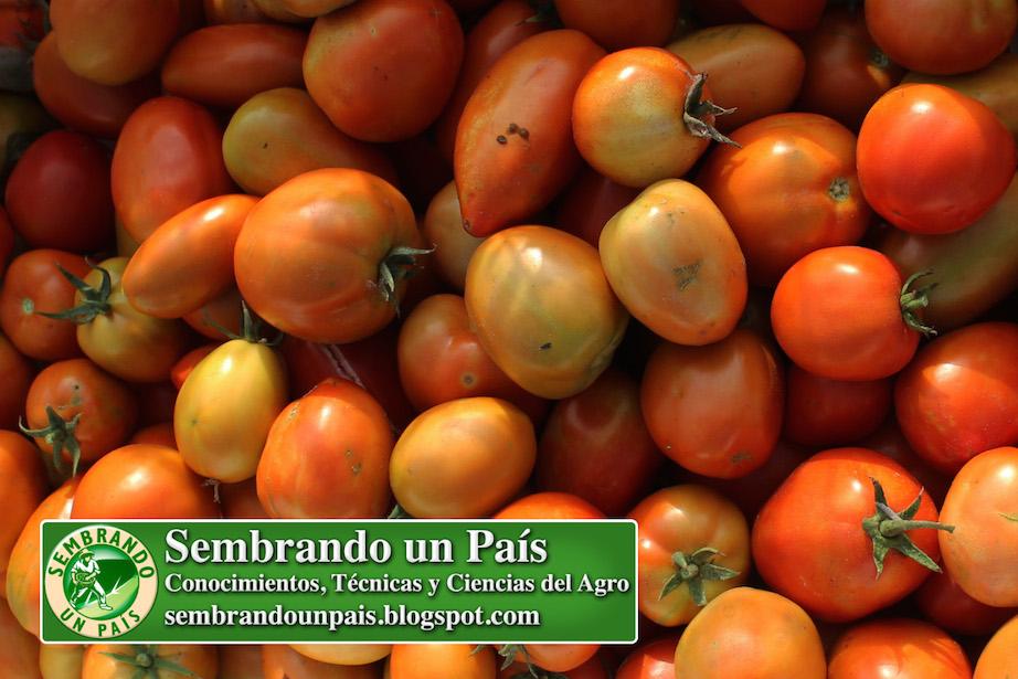 excelentes tomates