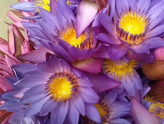 Gambar Bunga Teratai Terindah di Dunia 9