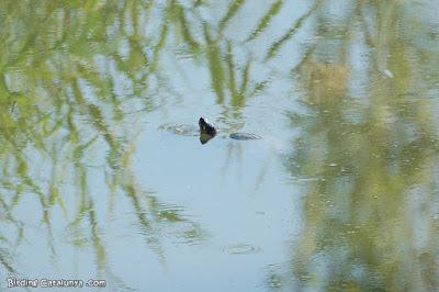 Tortuga americana a un dels estanys petits