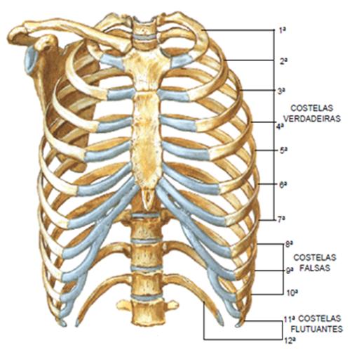 Di rio do corset m dicos e o tl angiologista for O osso esterno e dividido em