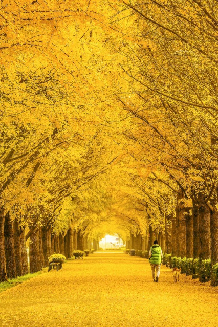 Asan Gingko Tree Road