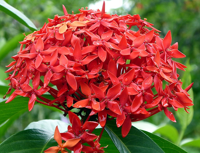 Gambar bunga asoka merah