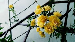 rosa banksiae rose
