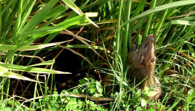 Hama Tikus pada Tanaman Padi