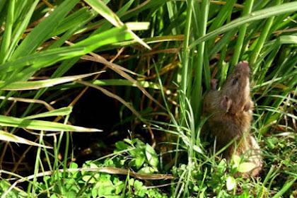 Hama Tikus pada Tanaman Padi dan Teknik Ampuh Pengendaliannya