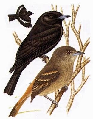 Viudita común, Knipolegus aterrimus