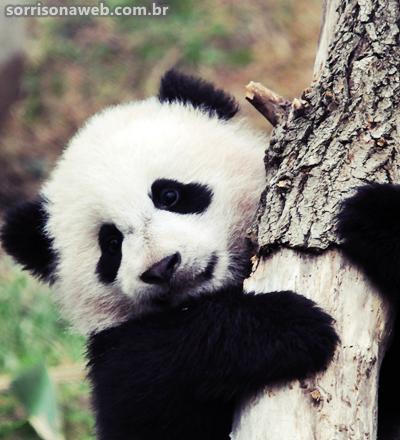 Curiosidades sobre os pandas - Sorriso na Web
