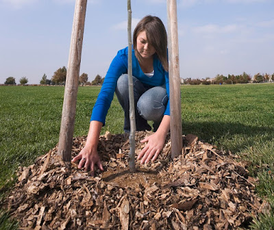 Young woman spreading wood chip mulch