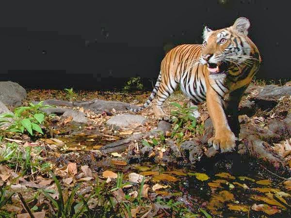 Karena Kegemukan Harimau Siberia di China Dipancing Olahraga Pakai Drone