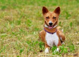 Researchers Sequence Genome of Basenji Dog