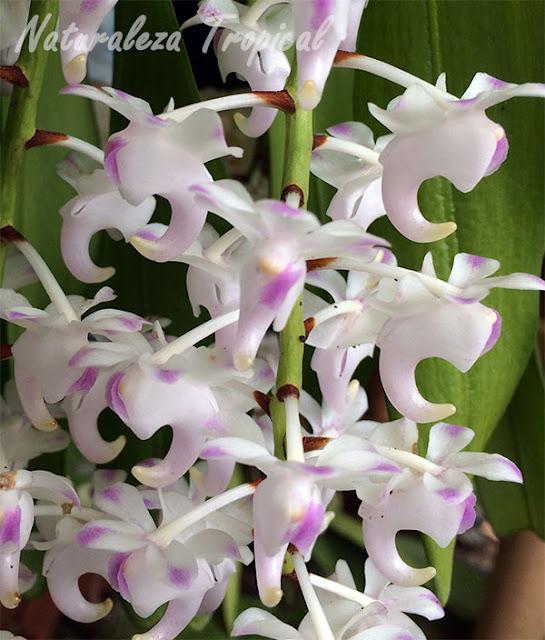 La orquídea de Limón o Rabo de Gato, Aerides odorata