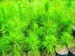 gambar bibit cara menanam pohon cemara pinus