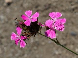 : Oeillet des Chartreux - Dianthus carthusianorum