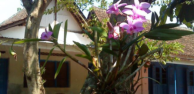 Tanaman Anggrek pada Pohon Mangga