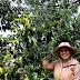 Bán cây dổi ghép thực sinh và cây ghép giá sỉ Buôn Ma Thuột