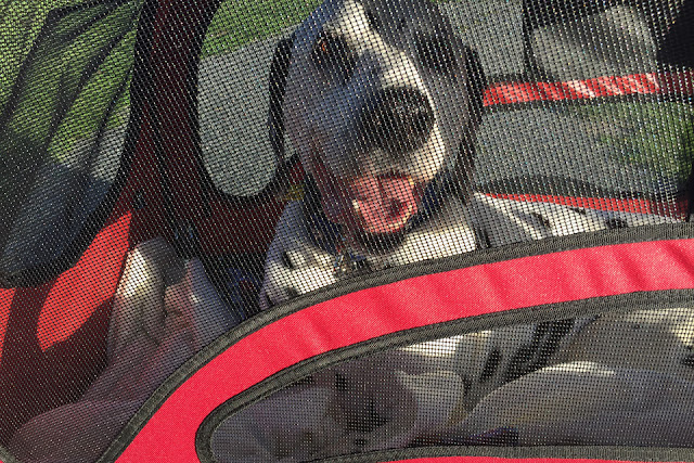 Smiling dog in a large dog stroller with mesh windows