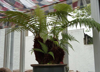 tree fern congested before being chopped