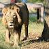 Sempat Nyaris Punah, Populasi Singa Asia Naik dalam 5 Tahun