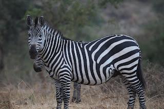 Burchell Zebras