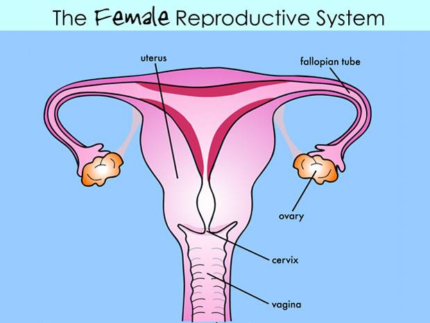Structure Of Male And Female Reproductive System