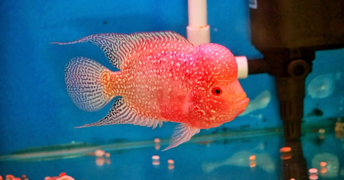 Best Live Food For Flowerhorn Fish