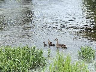 Mallard Duck, Female Mallard, Mallard Ducklings, San Gabriel River, Georgetown, Texas, Fly Fishing Texas, Texas Fly Fishing, Texas Freshwater Fly Fishing
