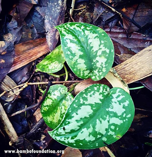 Daftar Scindapsus Borneo