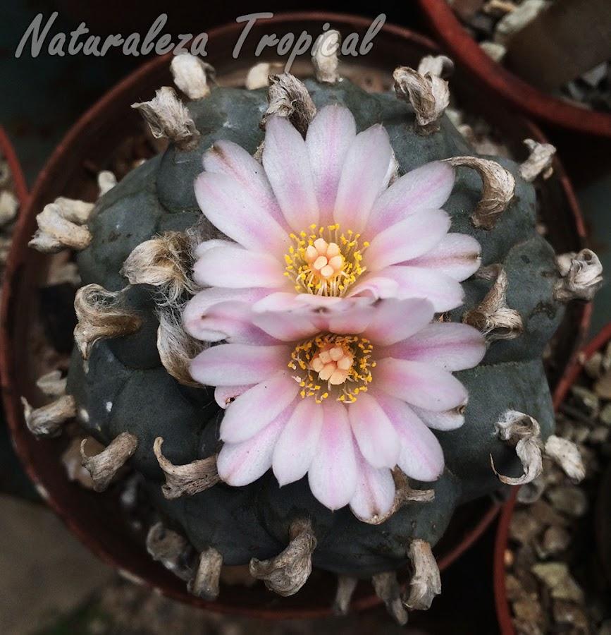 Otra imagen del cactus Peyote en flor, Lophophora williamsii