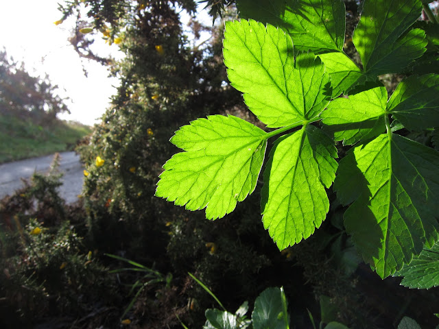 Sun shining through Alexanders leaves with path beyond
