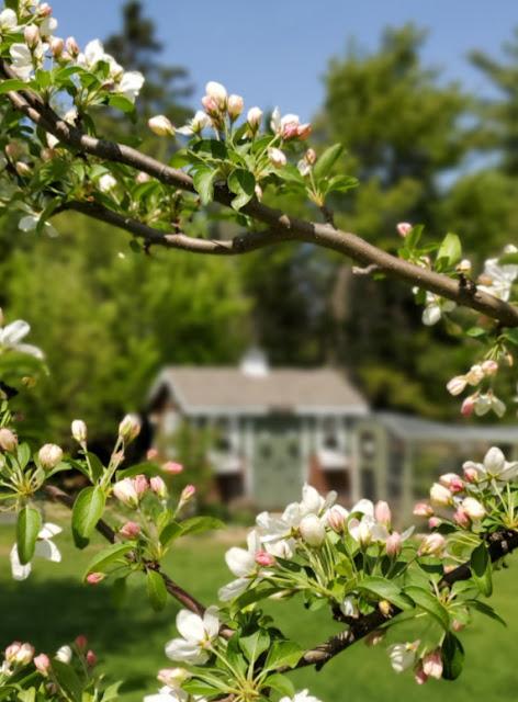 Chicken coop behind apple blossoms