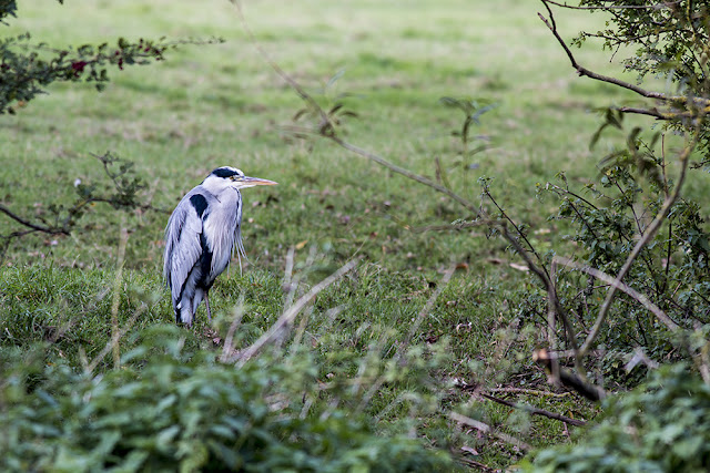 Grey Heron Stalking the Banks of the River Ouse