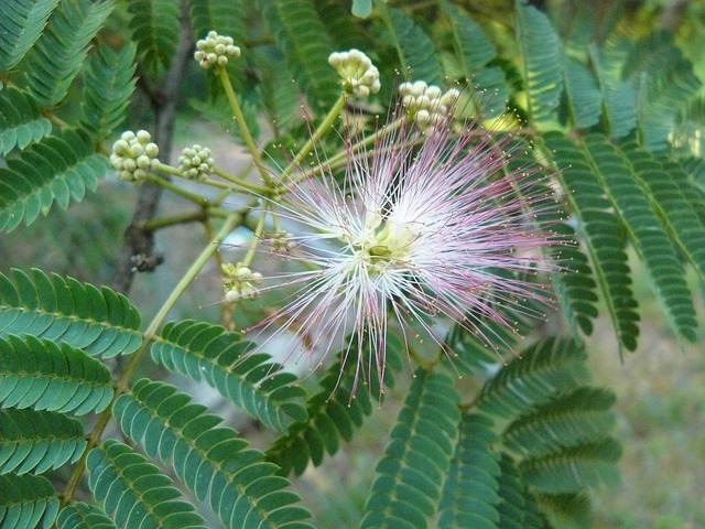 Bild einer Mimose
