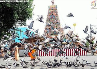தமிழக கோயில்களில் பழங்கால முறைப்படி புறாக்கள் எதற்காக வளர்க்கபடுகிறது ?