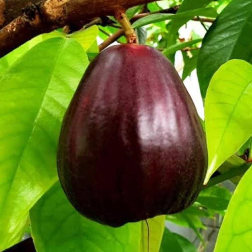bibit buah jambu Jamaika okulasi Sumatra Utara