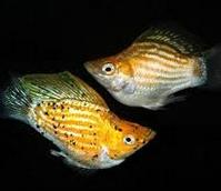 Jenis Jenis Ikan Hias Balon Dan Harganya Di Pasaran