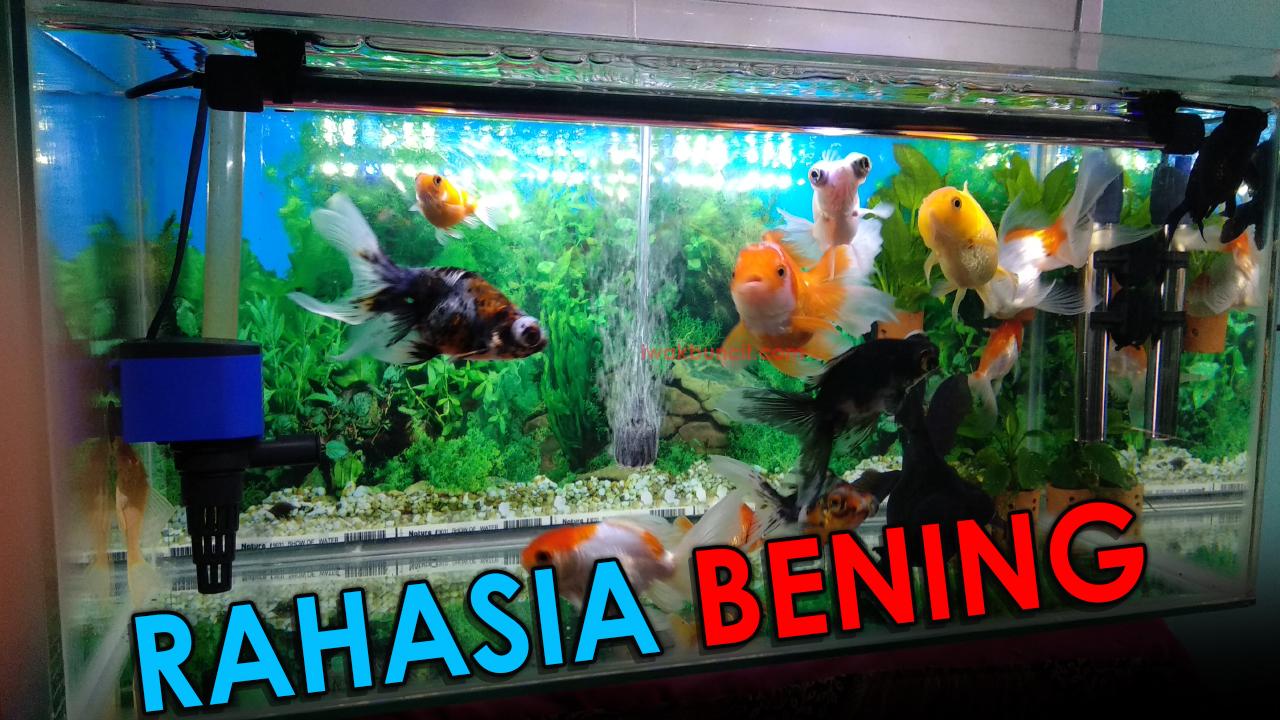 Ingin Punya Air Aquarium Ikan Hias Yang Jernih Bening Dan