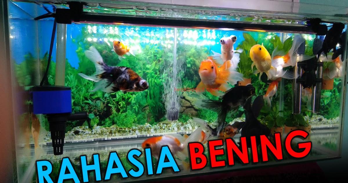 Ingin Punya Air Aquarium Ikan Hias Yang Jernih Bening Dan Bersih Perhatikan 4 Faktor Penting Berikut