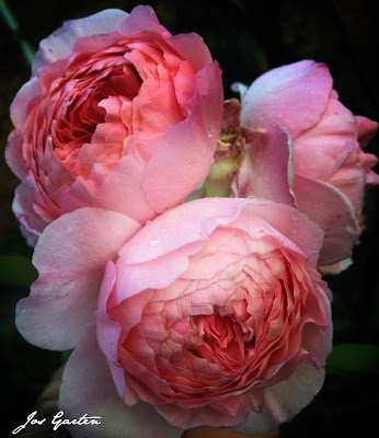 Jos Garten;Rosen