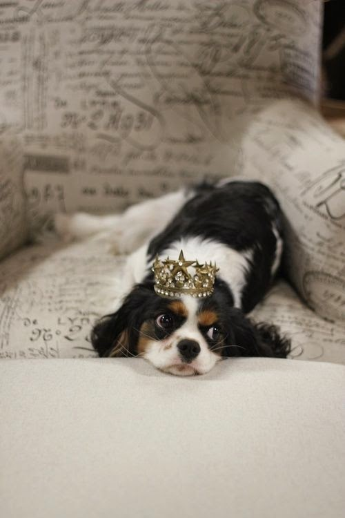 Cute King Charles Puppy