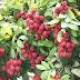 लीची की उन्नतशील खेती कैसे करें cultivate litchi's