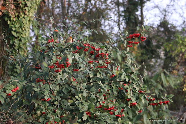 cotoneastere lacteus