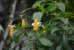 Tanaman Hias Berbunga Indah Lolipop Bunga Lilin Golden Shrimp Plant Golden Candle Pachystachys Lutea Planter And Forester