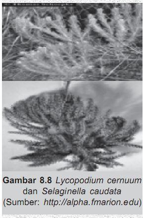 Lycopodium Cernuum dan Selaginella Caudata