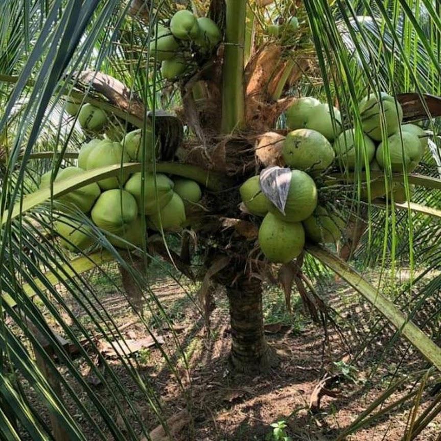 Bibit kelapa Wulung asli Banten